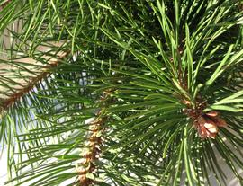 Pine Needle Tea - Thumbs up for Home Remedies!
