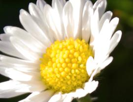 Daisy - A Symbol of Beauty and Purity
